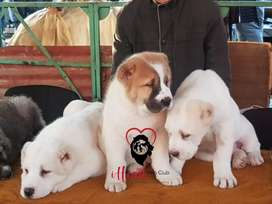 Alabai (Cao) puppies  Available for import.
