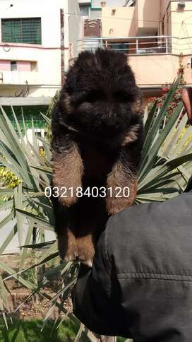 Long coat male pink pedigree microchipped imported blood lines