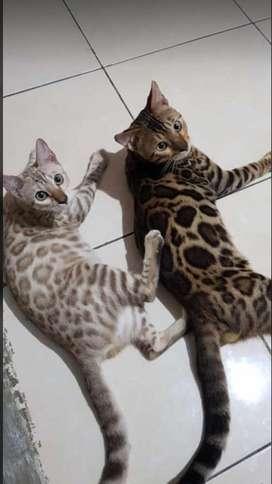 Kucing BengalSepasang