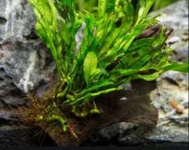 Aquarium Water plants for Sale