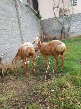 Turky Sheep pair