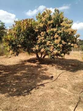 5 Acre Farm - Total ₹ 65L- Mango, Lemon, Solar, Fenced, House