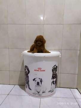 Red Toy Poodle 2bulan.Stambom+Vaksin.Lucu Lincah dijamin annjing SHAT.