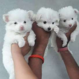 Russian Pink Nose triple coat puppies pair