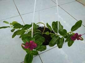 Bunga vinca juntai + pot gantung