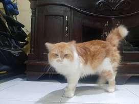 pacak kucing persia