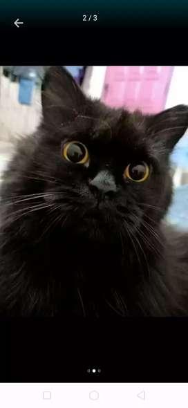 LA kucing Persia gembul