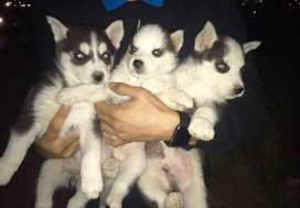 Top quality siberian husky puppies available from imported parents