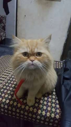 Indonesian male cat