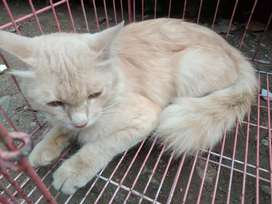 Kucing persia medium + kandang pink