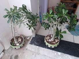 Adhenum plant.