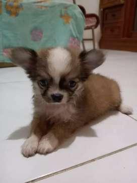 Chihuahua Longhair Jantan