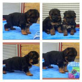 Top quality highly pedigree german shepherd pups available