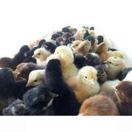 Day old Desi chicks - 100 for Rs 2600 - Great for organic farming