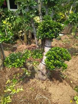 Jual bonsai beringin korea, cemara udang dan tanaman hias