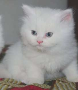 Persian Kittens (Free Delivery & Basket Gift)