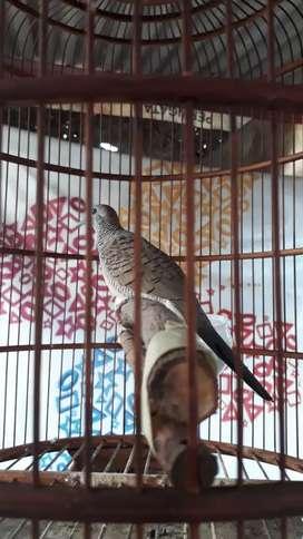 Burung perkutut bangkok Gacor