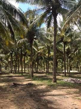 Coconut farm 10 lakh per acer.3 acer agricultural land