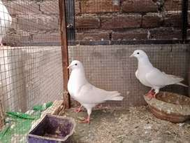 Pure white homing pigeons breeder pair.cargo available..