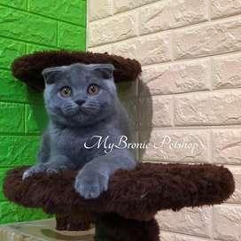 Kucing scottish fold female import ukraine ped wcf