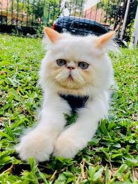 Kucing persian peaknose jantan