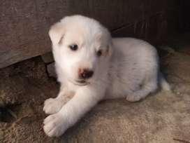 Jual anak anjing cantik