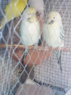 UNDER EXHIBITION TCB breeder pair