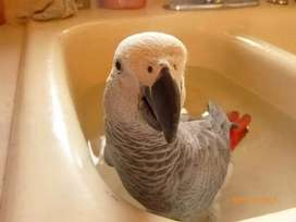 African Grey Parrot sell me