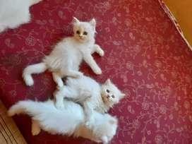 White pure Persian kitten for sale