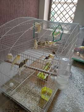 Canaries mix yellow, pied, brown frillback