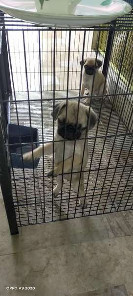 Pug pups available
