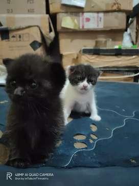 Kitten persia medium mix local