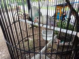Dijual cepat sepasang burung lovebird masih balibu