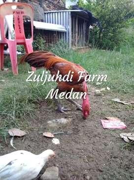 Ayam saigon gondang  jumbo tulang kasar Umur : 8 bulan