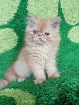 Kucing Persia peaknose turun long hair jantan.