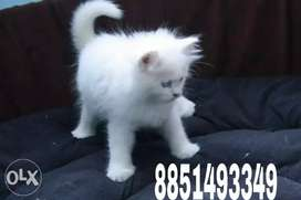 Cutest friendly Persian kittens available in all colours