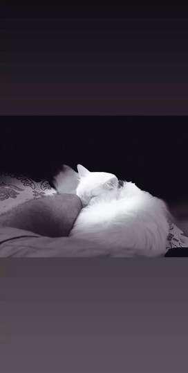 White cat best breed