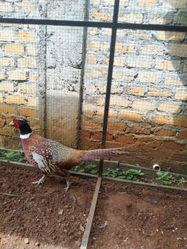 Ayam Red Ring Neck Pheasant (ayam Tibet merah)