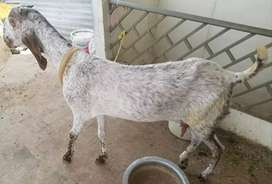 Goats and its Paath