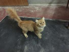 cat for sale
