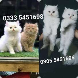 Pretty PeRsian kitty's available