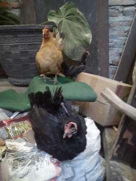 Ayam kate betina