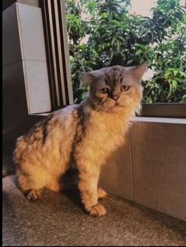 Persian cat for new home