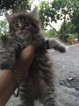 Dijual kucing persia marbel bulu kapas 1.5 bulan .