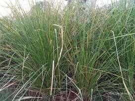 Pembibitan Rumput Vetiver, Rumput Asli Untuk Pencegah Longsor