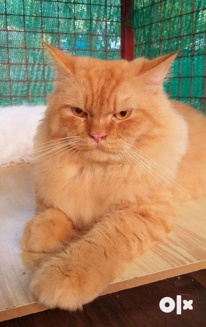 Persian male cat for matting 0