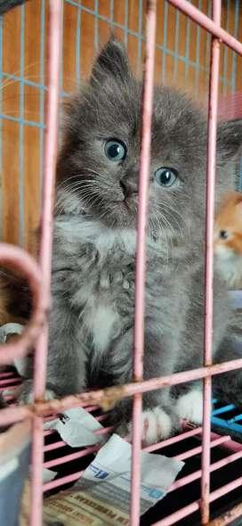 Kucing Medium 2,5Bulan Jantan ABU