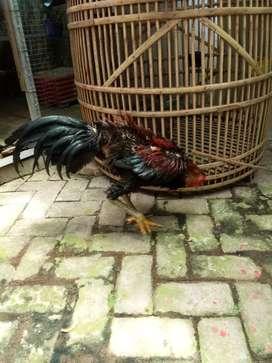 Dijual ayam bangkok mangon kaki hijau.