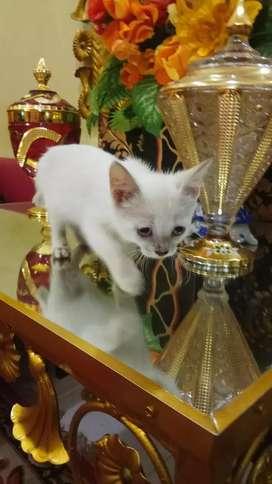Kucing Persia Shorthair Betina