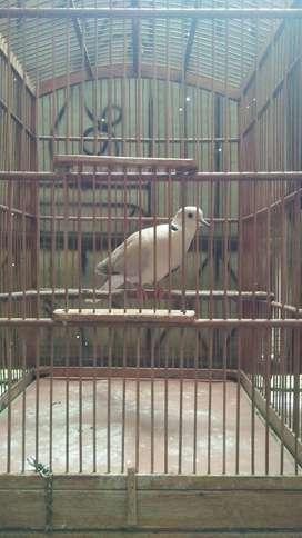 Burung puter lokal antik